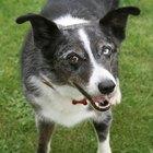 Cómo ayudar a detener los tumores grasosos en los perros