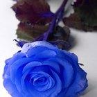 Cómo teñir de azul rosas blancas