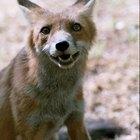 Cómo espantar a un zorro que sigue acercándose a tu casa
