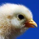 Cómo saber si un pollito es macho o hembra