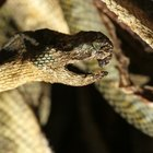 Cómo usar veneno para librarse de las serpientes