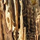 Cómo matar las termitas de forma natural