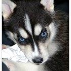 Cómo cuidar a un cachorro de husky siberiano