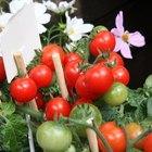 Cómo cultivar tomates hidropónicos