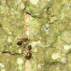 Cómo deshacerse de las hormigas de forma natural