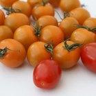Cómo cultivar tomates en invernadero
