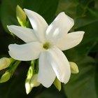 La historia de la flor de jazmín