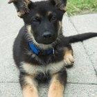 Cómo entrenar un cachorro de pastor alemán