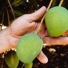 Cómo cultivar árboles de mango a partir de una semilla