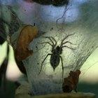 Cómo identificar una araña negra y blanca