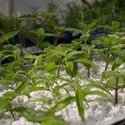 Como hacer germinar a las semillas en bandejas