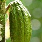 Cómo cultivar granos de cacao
