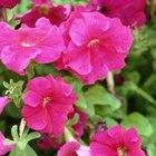 Cómo cultivar petunias a partir de esquejes