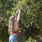 Cómo injertar árboles frutales