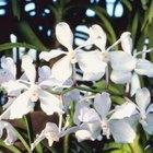 Cómo cultivar orquídeas Vanda en macetas