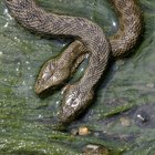 Repelente de serpientes hecho en casa para el interior
