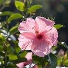 Cómo podar las plantas y los árboles Hibiscus