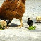 Cómo construir un gallinero tipo Amish
