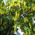 Golden Chain Tree Propagation