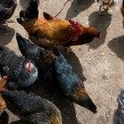 Cómo instalar una granja avícola