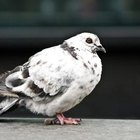 Cómo alejar a las palomas permanentemente