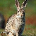 Cómo atrapar un conejo en una jaula trampa