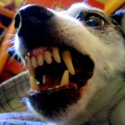 Wound infection symptoms in dogs