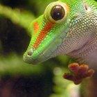 O risco de salmonela nas lagartixas de estimação