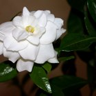 How to grow gardenias outside & in