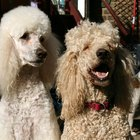 Ataques diabéticos en perros