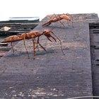 Riesgos para la salud por uso de ácido bórico para matar cucarachas