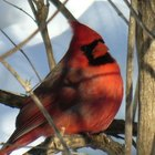¿Qué clase de alimento para aves comen los cardenales?