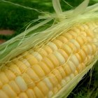 Life Cycle of Sweet Corn