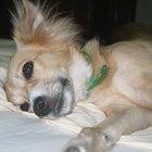 Quais são as causas do excesso de leucócitos em cães?