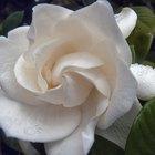 ¿Cuándo es la temporada de gardenias?