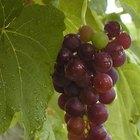 El ciclo de vida de las plantas de las uvas
