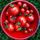 ¿Qué son esos pequeños insectos blanco en mis plantas de tomates?