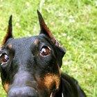 ¿Se puede revertir el agrandamiento del corazón en los perros?