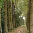 Life Span of Poplar Trees