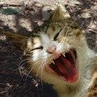O bruxismo em gatos