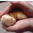 O crescimento dos filhotes de Chihuahua