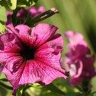 ¿Qué plantas colgantes de exterior pueden soportar el sol pleno y el calor?