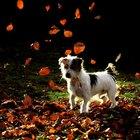 Cuidados pós-operatórios para enucleação em cães