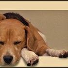 El peso y la altura normal de un perro beagle