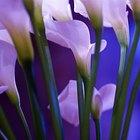 Canna Lilies Vs. Calla Lilies