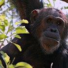 ¿Qué tipo de comida come un chimpancé?