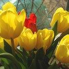 Ciclo de vida de un tulipán