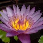 Qual o significado da flor-de-lótus roxa?