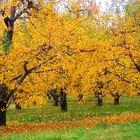 Cinzas de madeira podem ser colocadas em volta de árvores frutíferas?