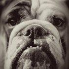 English bulldog puppy teething information